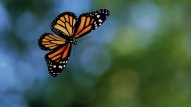 hd-butterflies-wallpaper-with-a-flying-orange-black-butterfly-hd-butterflies-backgrounds